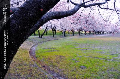 川越水上公園の桜1b