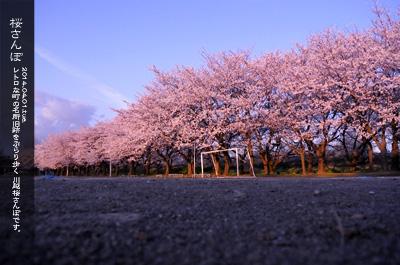 川越水上公園の桜1c