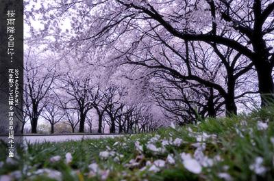 川越水上公園の桜2b