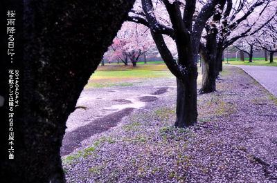 川越水上公園の桜3b