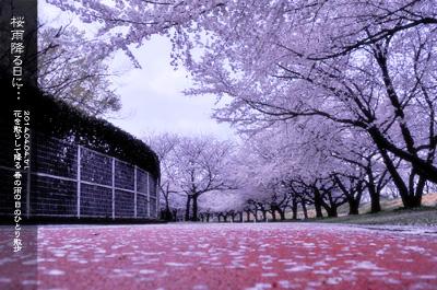 川越水上公園の桜3c