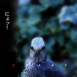 かなりピンボケ ヒヨドリのおハナシ