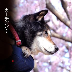 かなりピンボケ コロタンの桜さんぽ