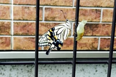 さなぎから羽化した蝶