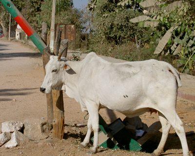 インドで牛発電って?