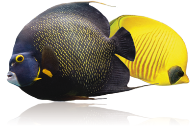 Angelfishes.png