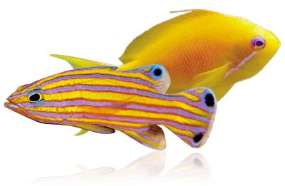 Anthias.png