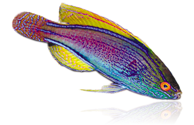 Wrasses.png