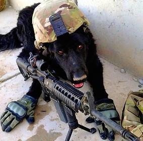 Military war dog