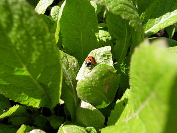 高菜とてんとう虫