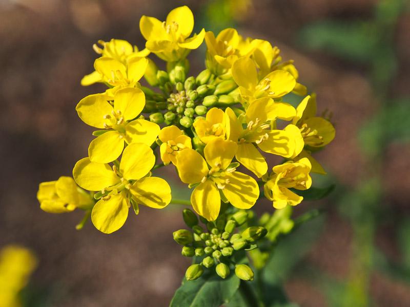 2014高菜の花