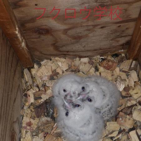 3羽のふくろうキャプション入IMGP1179-(800x451).jpg
