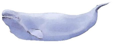 シロイルカの画像 p1_3