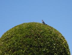 7月29日・・・こんな鳥〜〜尾長鳥??変な声で鳴くぅ〜〜!!