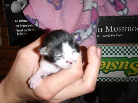 9月24日(金)生後4日目の子猫をご紹介。