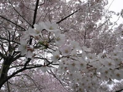 国立劇場 桜