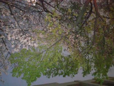 東中野 桜