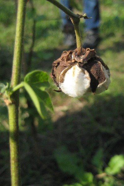 綿の収穫祭