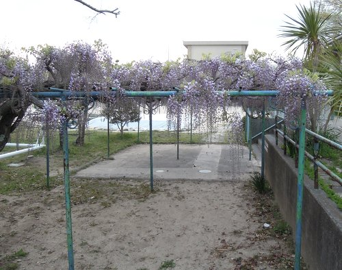 プール入り口の藤の花
