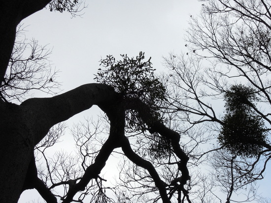 栴檀の実、宿り木の落ち葉。