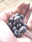 ブルーベリー収穫♪
