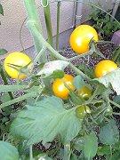今年のミニトマトは黄色!