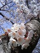 桜を見ると言葉では言い表せない何かが心に現れる。日本人だなぁ…私。