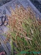 初めての稲収穫♪