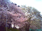 岡崎公園の桜♪