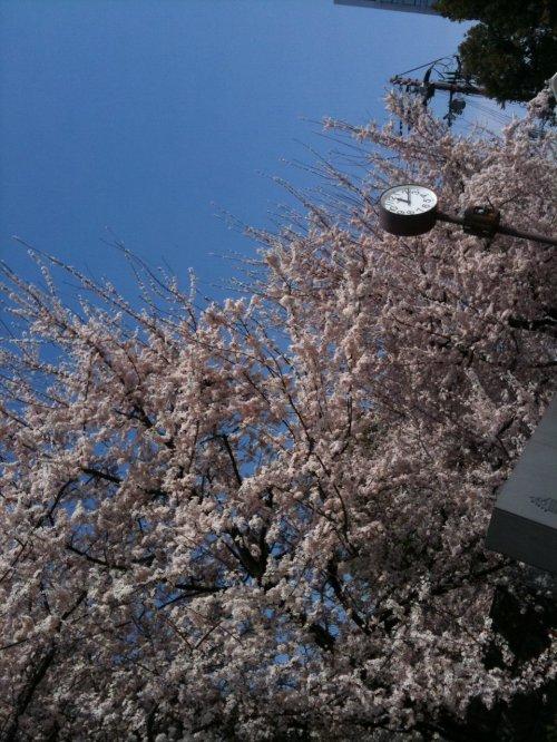 さくら2011大阪城公園v1