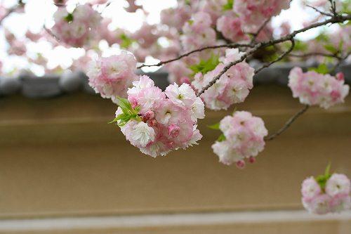 塀の前の八重桜