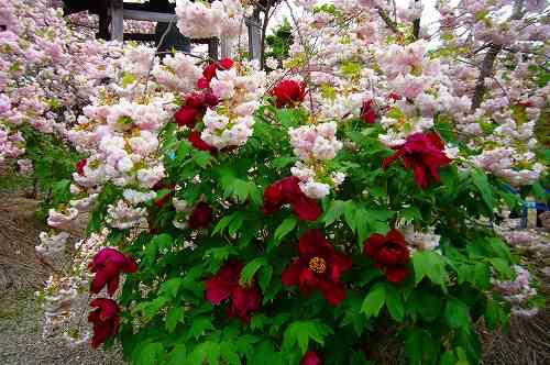 牡丹と八重桜