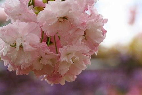 藤ろ八重桜