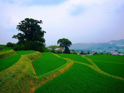大杉の田んぼ