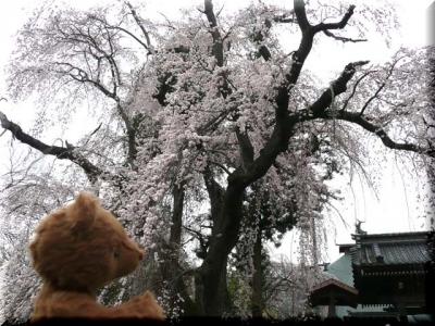 しだれ桜♪