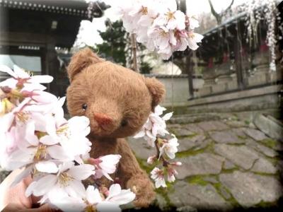 しだれ桜の花♪