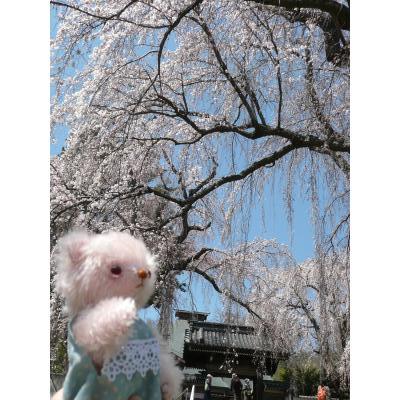 しだれ桜その1