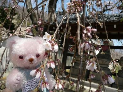 しだれ桜その2