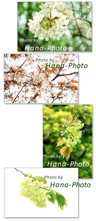 桜 ウコン 御衣黄 駿河台匂 山桜 春 桜の種類 ギョイコウ