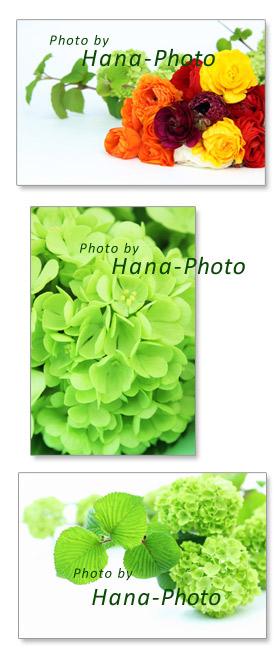 オオデマリ 緑 グリーン ラナンキュラス カラフル