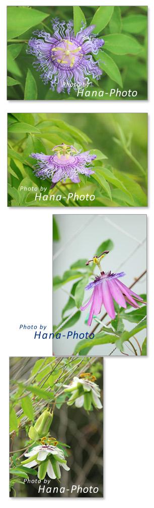 トケイソウ 時計草 パッションフラワー イノセンス アメシスト カエルレア 紫色 パープル 白 夏 花 きれい