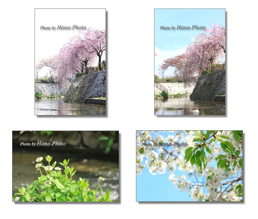 八重枝垂れ桜 シダレ桜 桜 さくら サクラ 白詰草 クローバー 若葉 新緑 緑 グリーン ピンク 青空