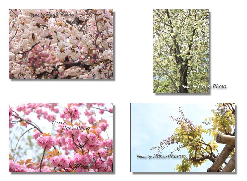 八重桜 ウコン桜 桜 さくら サクラ 八重 里桜 春