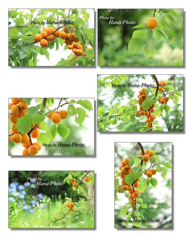 杏 あんず アンズ アプリコット 実 果実 果樹 フルーツ オレンジ色