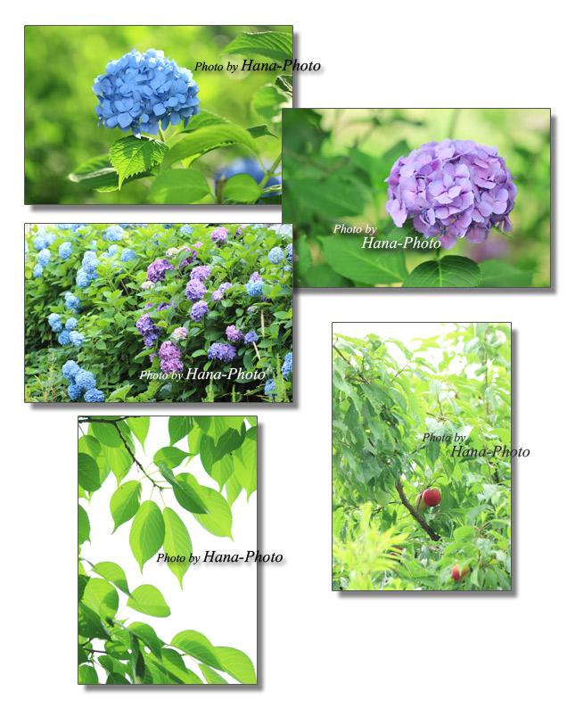 紫陽花 あじさい アジサイ 梅雨 プラム 新緑 若葉 夏 初夏 グリーン 緑 花 葉