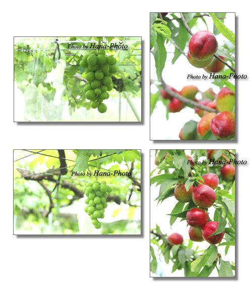 スモモ プラム ブドウ 収穫 果樹園 フルーツ 果物