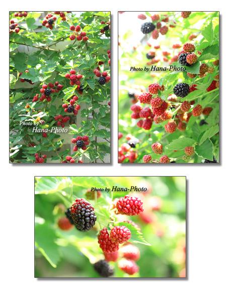 ブラックベリー ベリー キイチゴ 木イチゴ フルーツ 果物 きれい