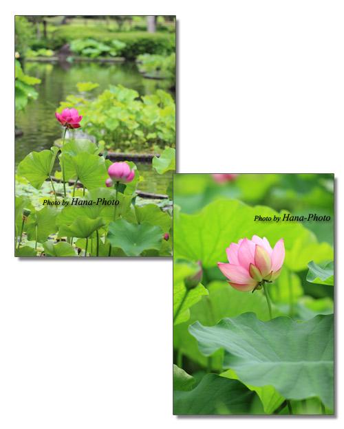 蓮 蓮の花 ハス 花 美中心 ピンク きれい