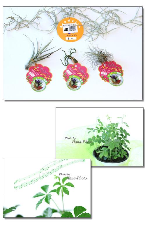 エアープランツ  チランジア 植物 シュガーパイン 観葉植物