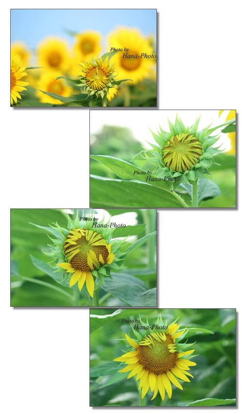 ヒマワリ畑 ひまわり ヒマワリ 向日葵 蕾 つぼみ 青空 空 満開 黄色 花 夏 きれい 真夏